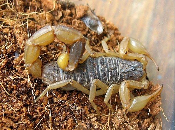 Scorpione dorato cinese